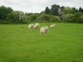 Ewes at grass